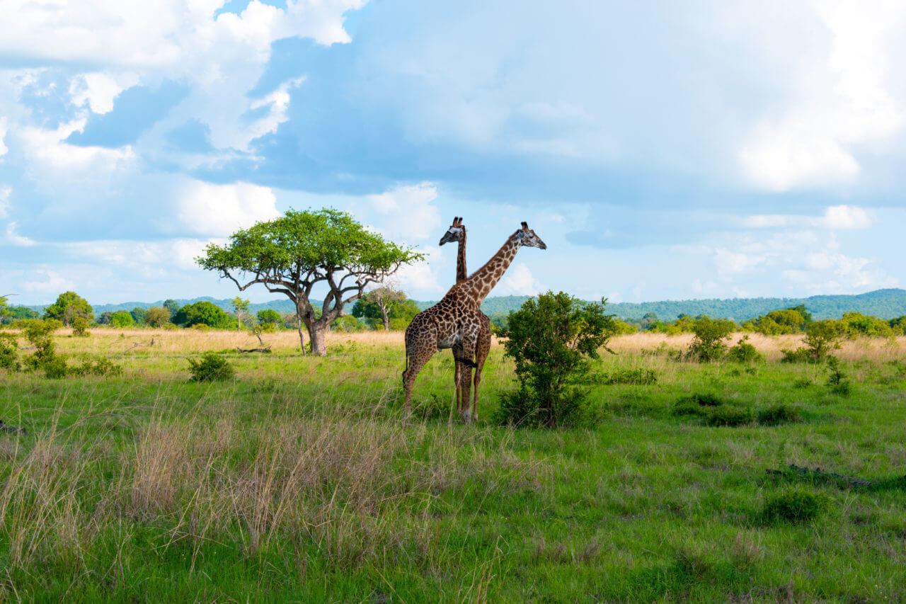 Микуми парк, Танзания Микуми парк Микуми парк, Танзания Mikumi 33