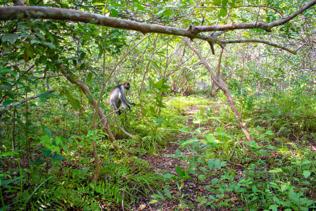 Занзибар, Танзания - парк Jozani Forest