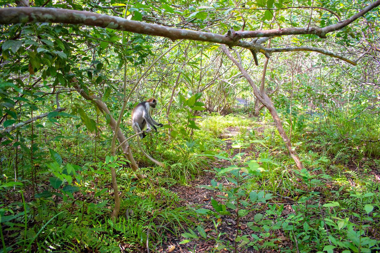 Занзибар, Танзания - парк Jozani Forest  Занзибар, Танзания Zanzibar 100
