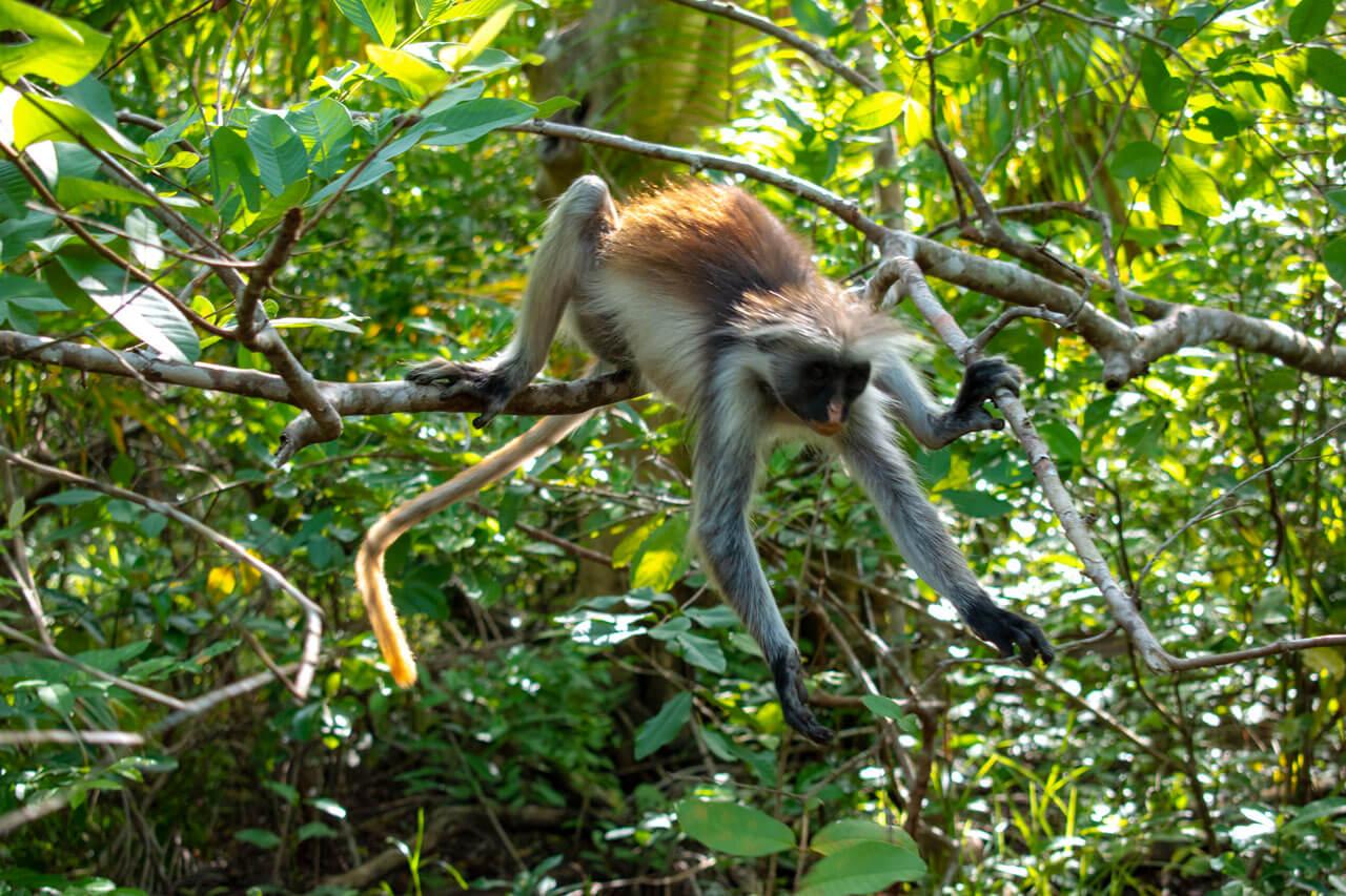 Занзибар, Танзания - парк Jozani Forest  Занзибар, Танзания Zanzibar 101