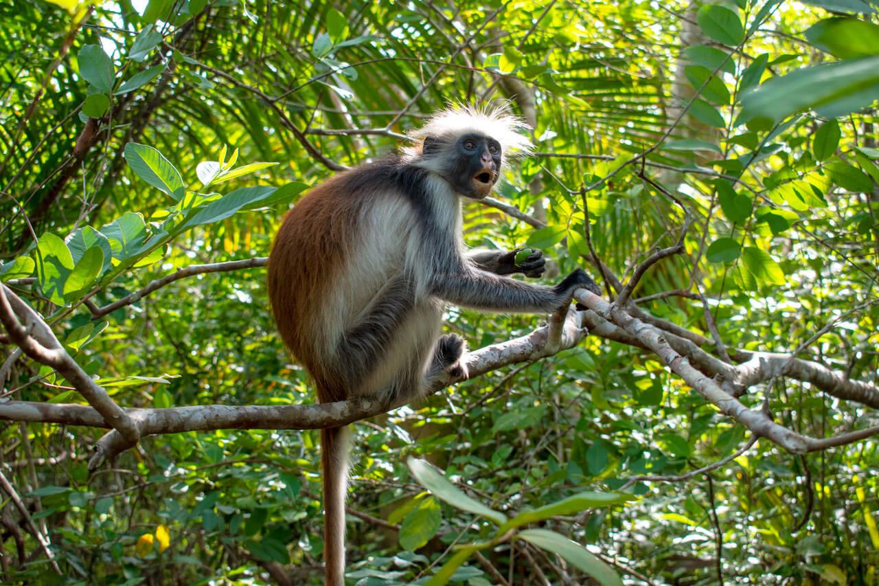 Занзибар, Танзания - парк Jozani Forest  Занзибар, Танзания Zanzibar 102