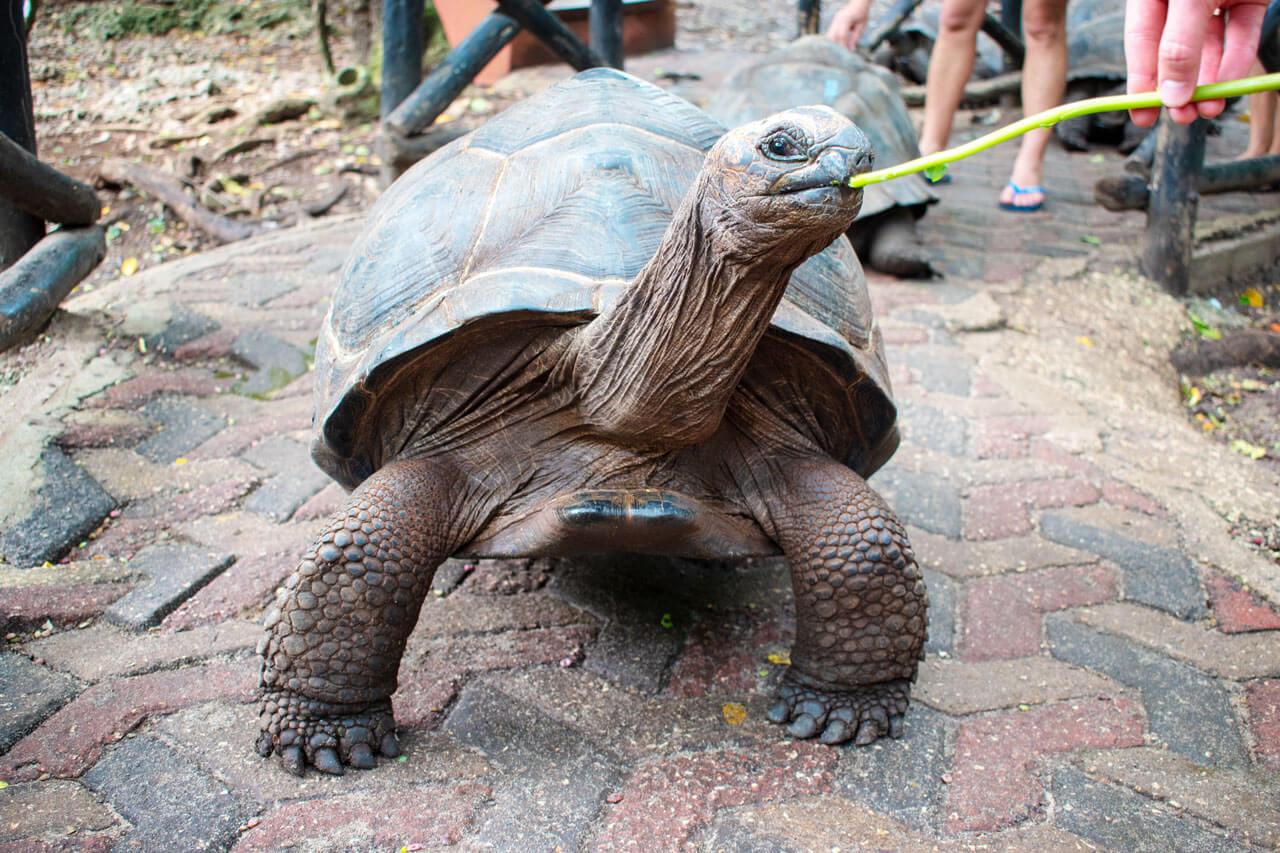 Занзибар, Танзания - Сейшельские черепахи  Занзибар, Танзания Zanzibar 109