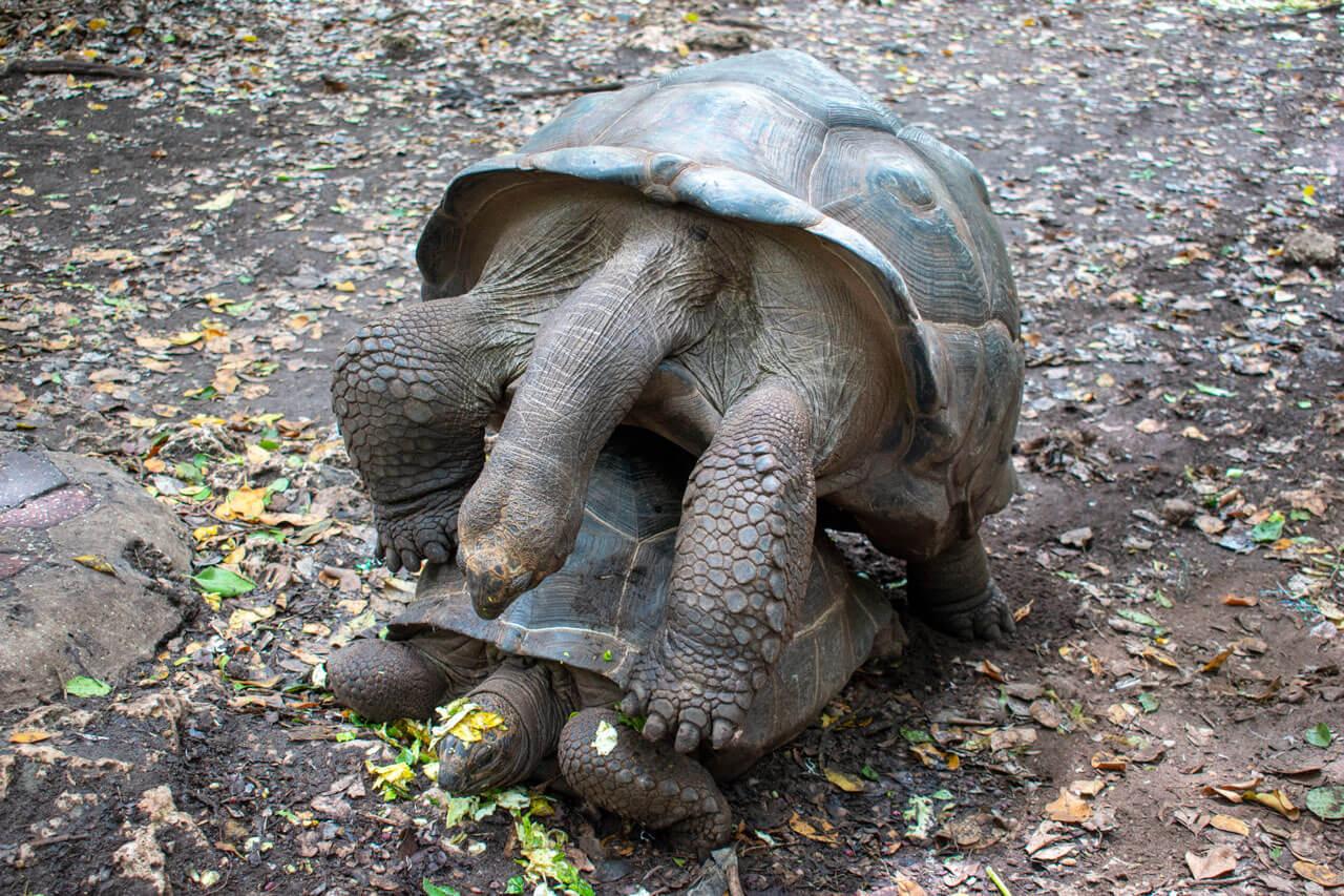 Занзибар, Танзания - Сейшельские черепахи  Занзибар, Танзания Zanzibar 113
