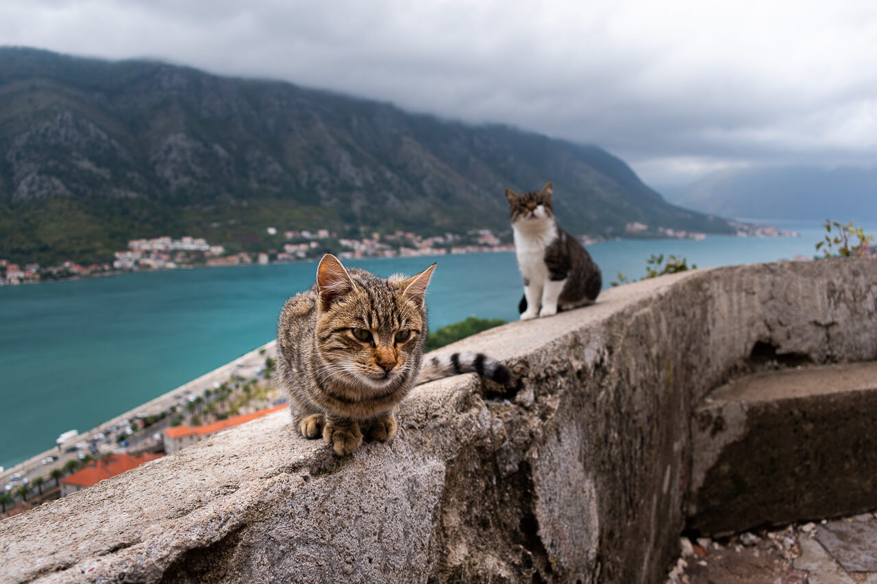 Которские коты